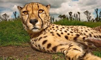В ефіопії був виявлений чорний гепард