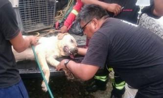 В еквадорі від виснаження померла собака, яка врятувала з-під завалів сімох людей