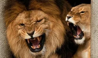 У південноафриканському заповіднику леви убили потрапив у вольєр хлопчика-сироту