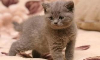В якому віці брати британського кошеня?