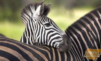 В яку смужку зебра?