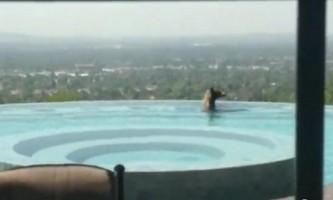 У каліфорнії ведмідь прийняв освіжаючу ванну в приватному басейні