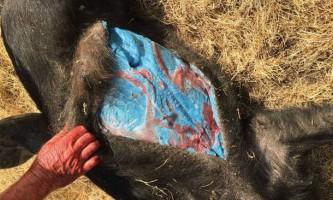 У каліфорнії жив дикий кабан з блакитним жиром