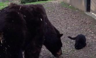 У каліфорнійському зоопарку подружилися ведмеді і кішка
