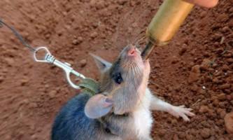 У камбоджі гігантських щурів навчили шукати міни
