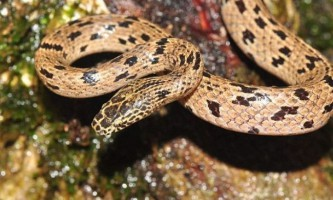 У камбоджі знайшли новий вид змії, роду волкозуб