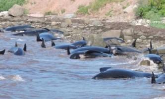 В канаді на берег викинулися шістнадцять дельфінів