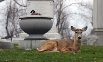 В канаді олень потоваришував з гускою