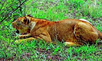 Напередодні всесвітнього дня левів житель кенії врятував левицю