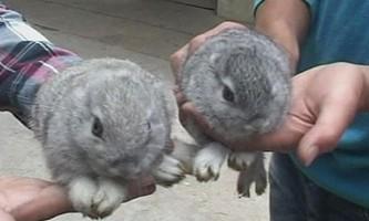 В китаї кролиця народила безвухих кроликів