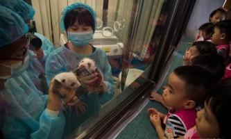 В китаї панди-двійнята в перший раз вийшли в світ