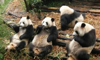 В китаї з`явиться найбільший в світі національний парк панд