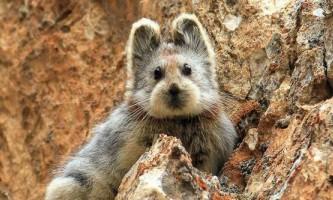 В китаї вперше за 20 років помічений чарівний кролик