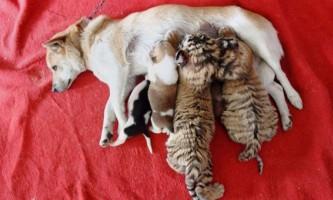 У китайському зоопарку дворняга стала прийомною мамою для амурських тигренят
