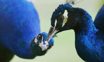 У китайському зоопарку відвідувачі шокували павичів до смерті
