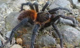 У колумбії виявлено незвичайний павук-птахоїд