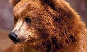 У комсомольську-на-амурі ведмідь оселився на кладовищі