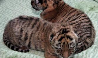 У кримському сафарі-парку вперше показали дитинчат амурського тигра