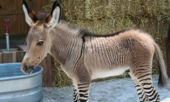 У криму народився рідкісний гібрид осла і зебри