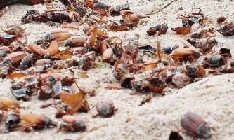У литві пляжі буквально всіяні мертвими хрущами