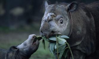 У малайзії вимирають суматранські носороги