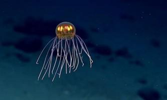 У маріанської западини виявили незвичайну медузу