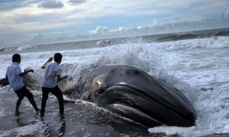 У мексиці на берег викинулися п`ятдесят і два кити