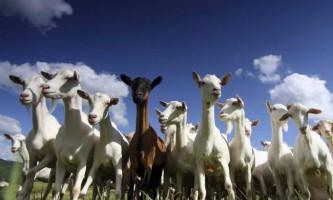 У мексиці олень врятував стадо кіз від чупакабри