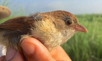 У м`янмі знайшли птаха, яка вважалася давно вимерлої