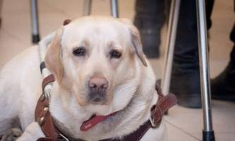 У московському метро у незрячої дівчини вкрали собаку-поводиря