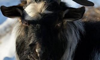 У москві своє триріччя святкує козел тимур