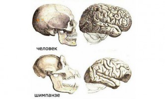 У мозку людини виявлено унікальна структура