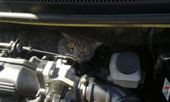 У мурманську в автомобілі застряг злий кіт