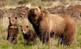У національному парку йелоустон ведмідь грізлі з`їв чоловіка