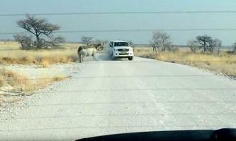 У намібії носоріг атакував джип