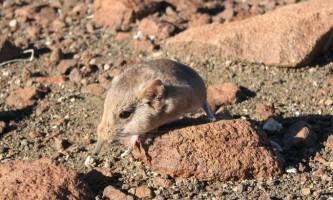 У намібії виявлено невідомий вид ссавця