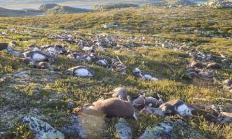 У норвегії блискавка вбила триста диких оленів