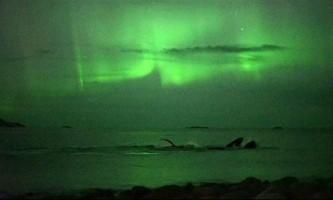 У норвегії зняли горбатих китів на тлі північного сяйва