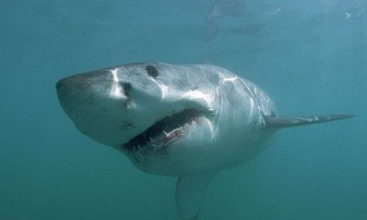 У новій зеландії акули-людожери розтерзали чоловіка