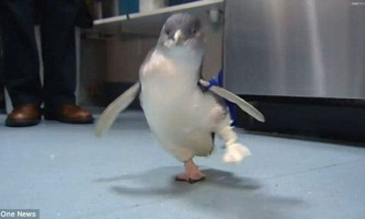 У новій зеландії полагодили пінгвіна-інваліда