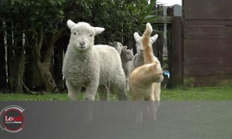 У новій зеландії рудий кіт очолив стадо овець