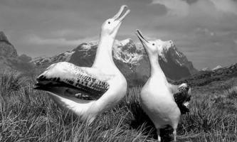 У новій зеландії врятували двох альбатросів
