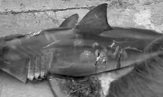 У новій зеландії вбили велику білу акулу