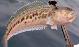 В одесі невдалий рибалка постраждав від морського дракона