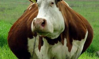 В одеській області від спеки вибухають корови