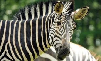В одному з норвезьких зоопарків на очах у відвідувачів зебру згодували тиграм
