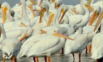 В панамі виявлена гігантська зграя пеліканів