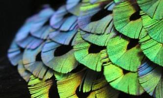 У пір`ї райських птахів виявлені дзеркала