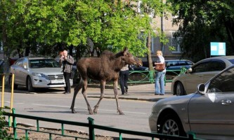 У пермському краї вже другу добу не можуть зловити лося, що бігає по місту