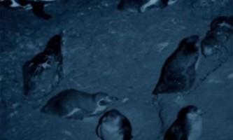 У перу вперше в історії зафіксований факт нападу вампірів на пінгвінів